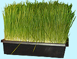 how to get rid of the bad taste of wheatgrass- that's right- fresh wheat grass without the nasty taste